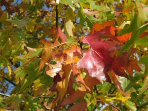 Norther Red Oak leaves